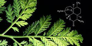L'Artémisinine, traitement naturel